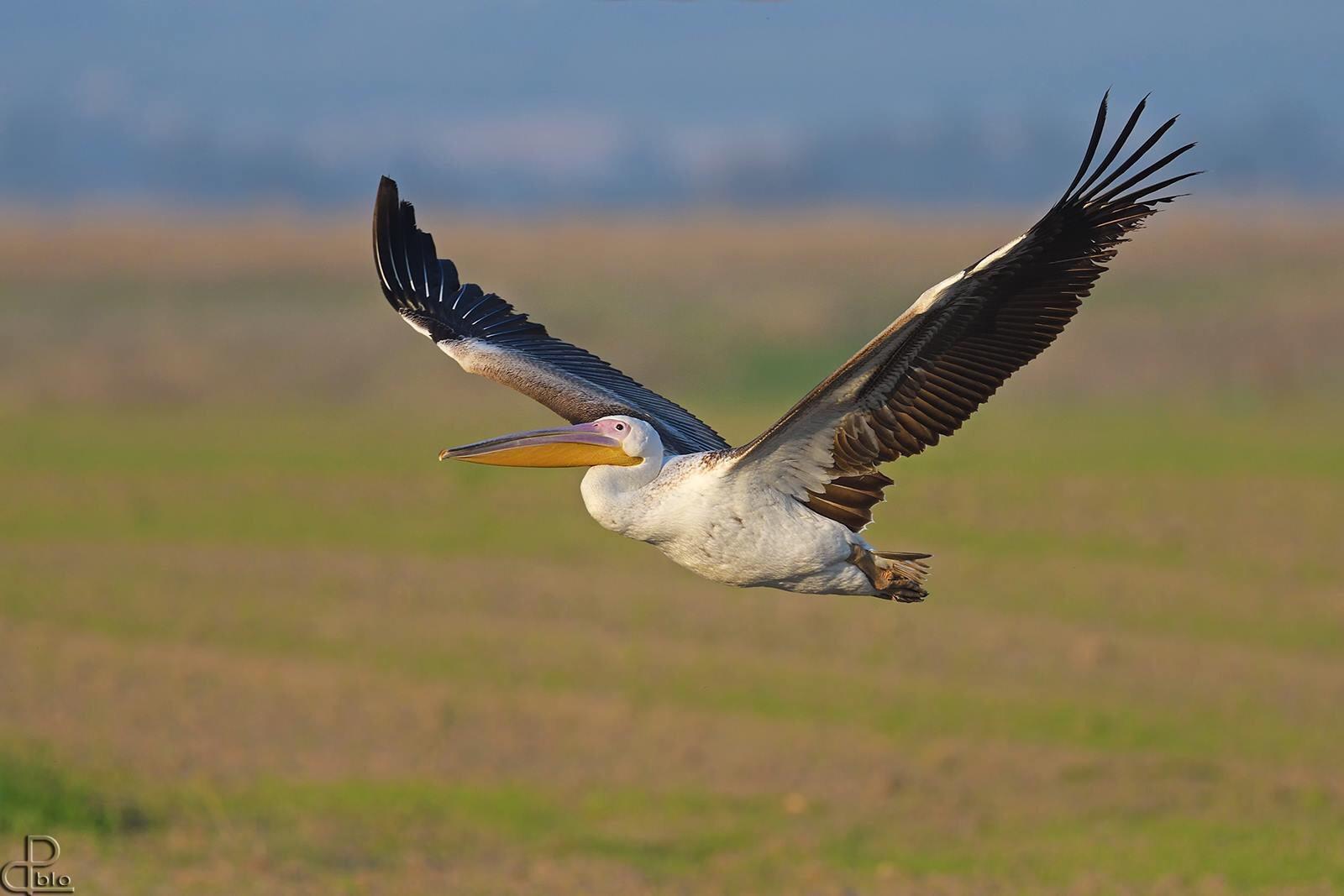 U15Ecc: decollano i pellicani